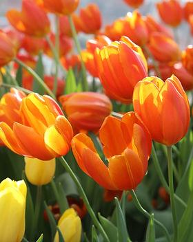 Banner Tulips orange.jpg