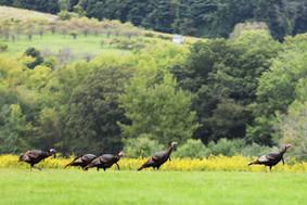 Conservation Turkeys.JPG