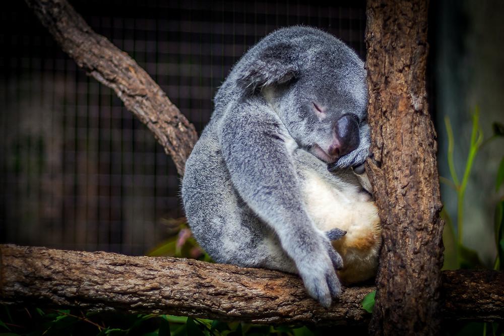 Koala sleeps in the nook of a tree