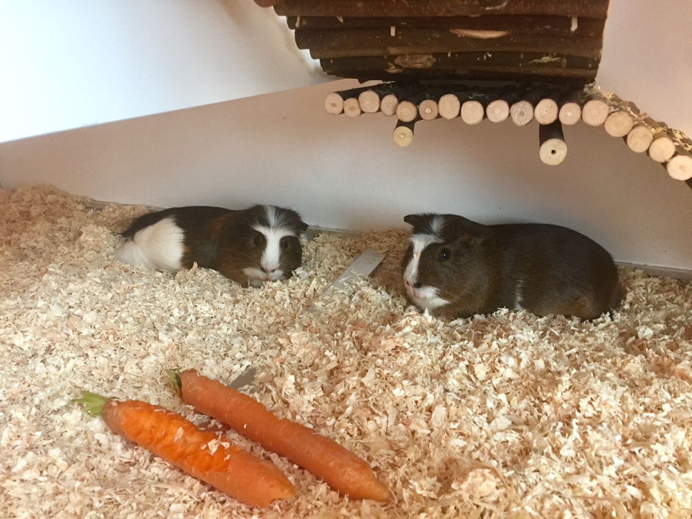 Meerschweinchen zuhause in ihrem Gehege