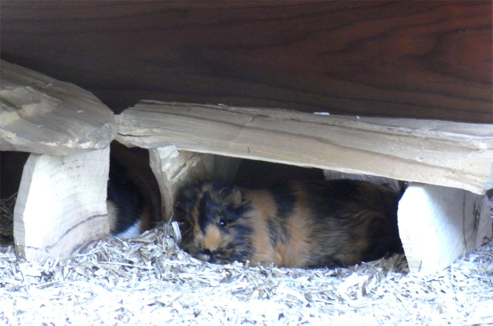Schlafendes Meerschweinchen im Häuschen
