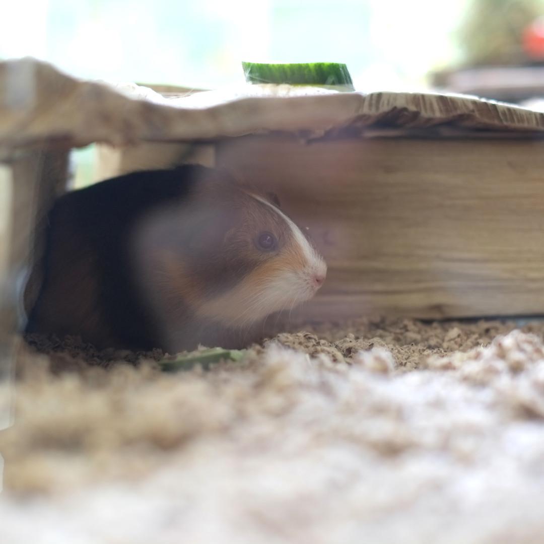 Meerschweinchen Hütte