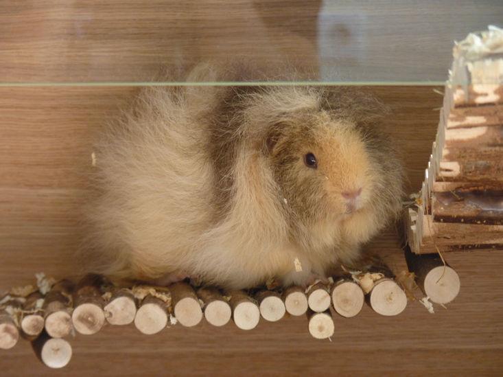Meerschweinchenkaefig in XXL aus Holz