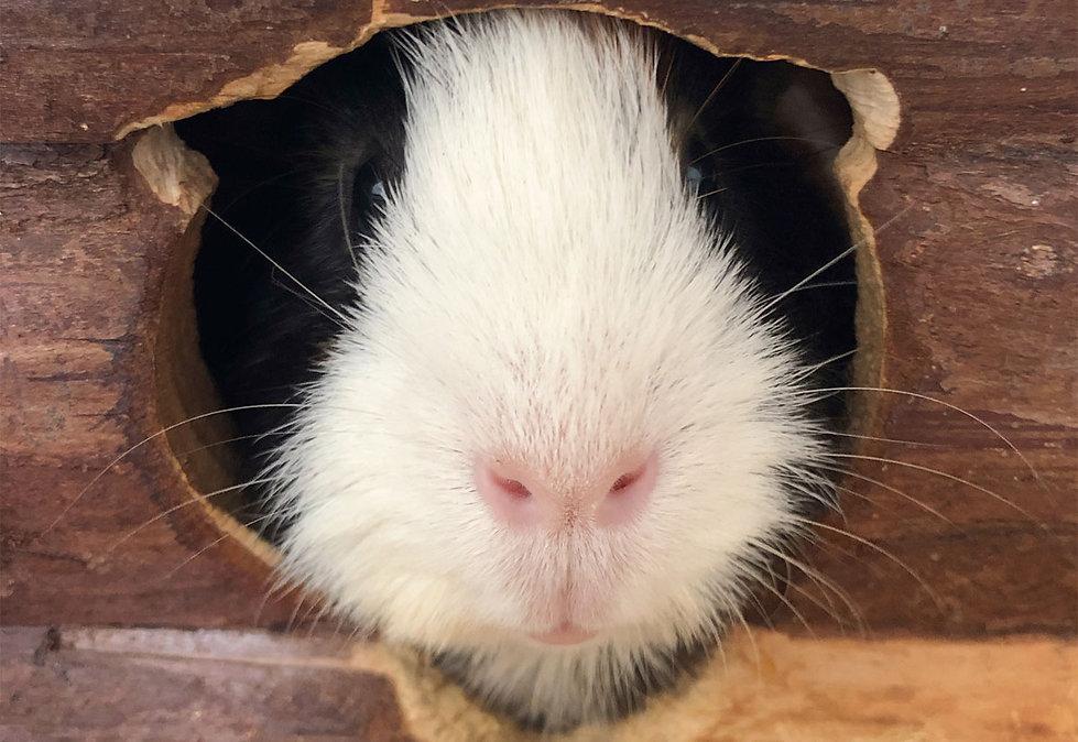 Meerschweinchen Henry bewohnt eine Maisonette von Meerschweinchenzuhause. Raus aus dem Meerschweinchenkäfig und hinein ins Wohnvergnügen.