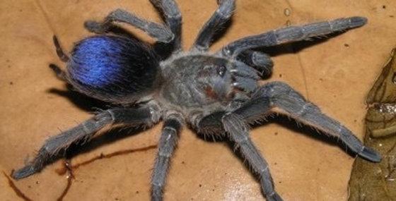 Pseudohapalopus sp. Blue