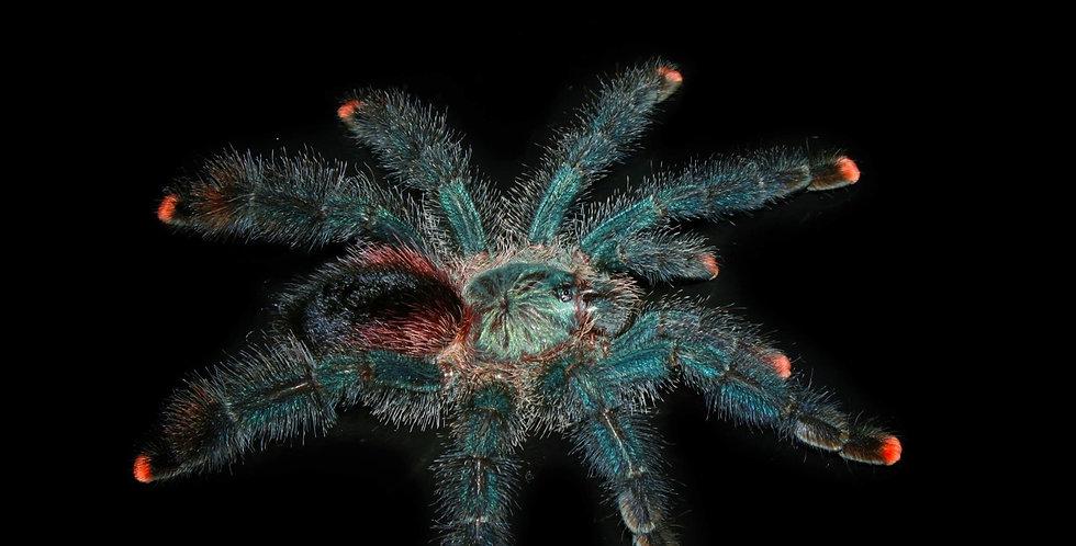 Avicularia sp. Boa Vista