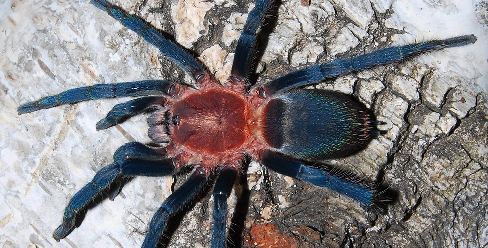 Holothele longipes Blue