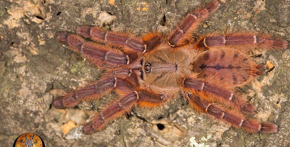Phormingochilus sp.Rufus