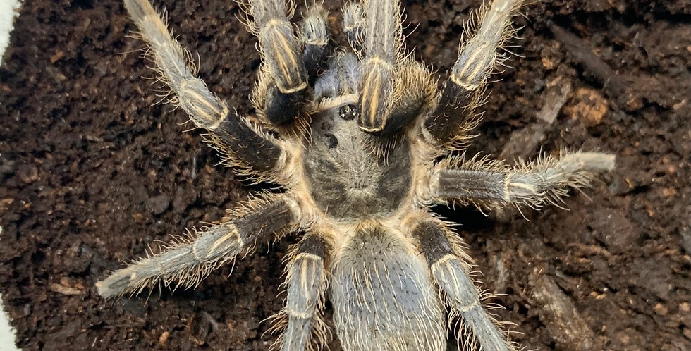 Juvie Female Aphonopelma seemanni