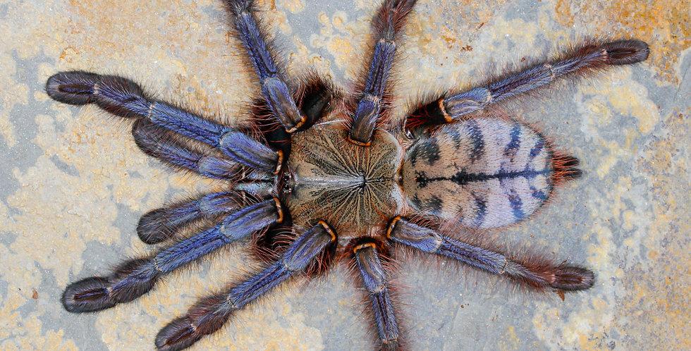 Phormingochilus sp. Sabah Blue