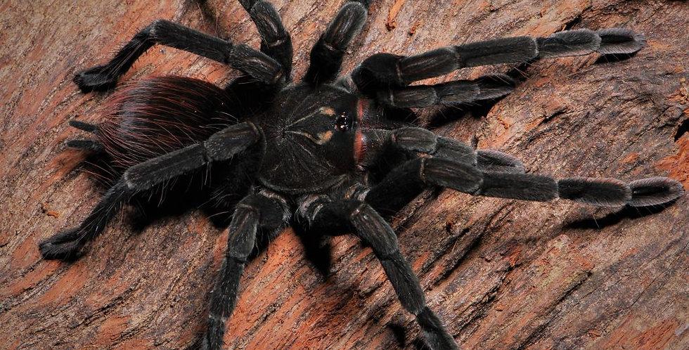 Pamphobeteus sp. Cascada