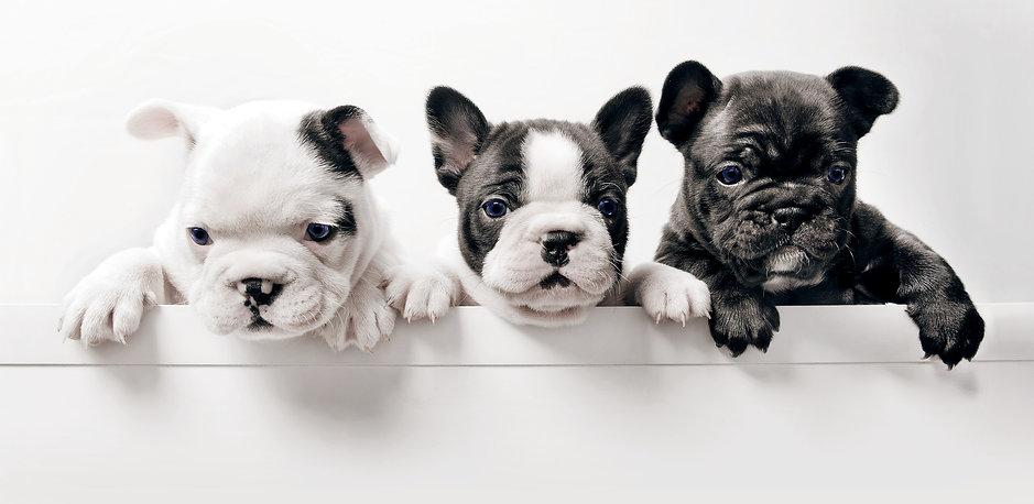 Three%20French%20Bullgod%20Puppies_edite