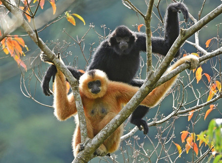 Most endangered primate triples in numbers