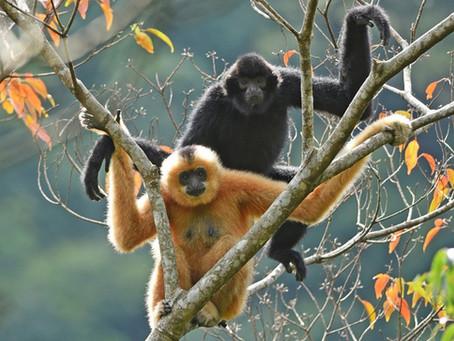 Most endangered primate triples in numbers