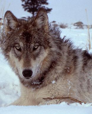 yellowstone-wolf-17120.jpg