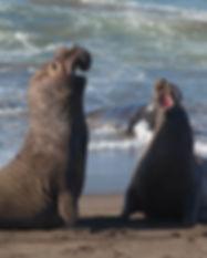 elephant-seals-fighting-BAXUJ38.jpg