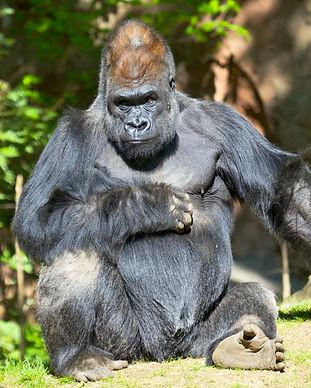 gorilla-PPTGWY4.jpg