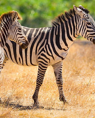 beautiful-zebras-walking-at-the-vast-pla