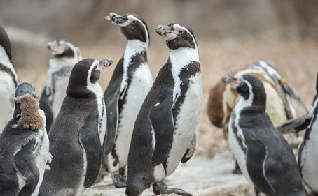 Iceland adopts all of zoo's penguins to save it from closure