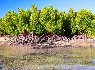 mangrove-plants-P4NQ8PP.jpg