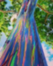 01_WeirdTrees__RainbowEucalyptus_shutter