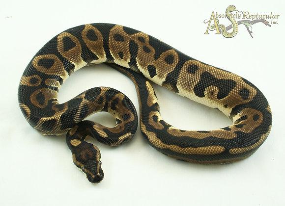 Leopard het Albino (LepHalb19-01m)