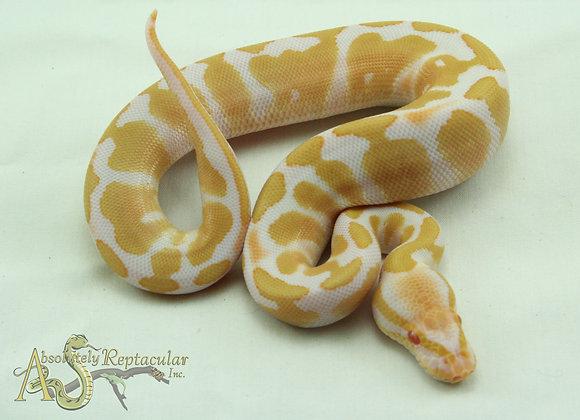 Albino (Alb20-13m)