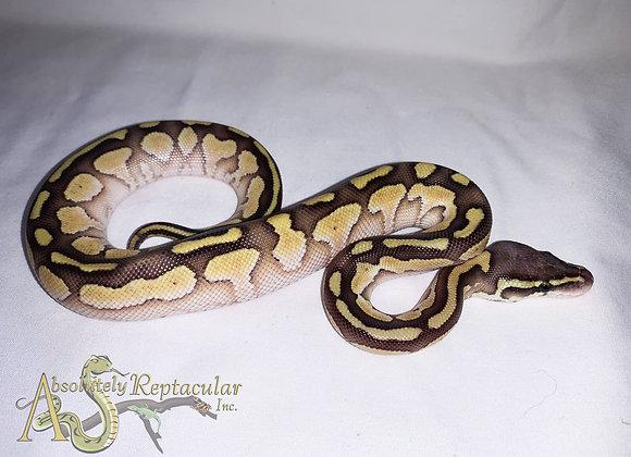 Pastel Lesser- 2020 male (PasLes20-02m)