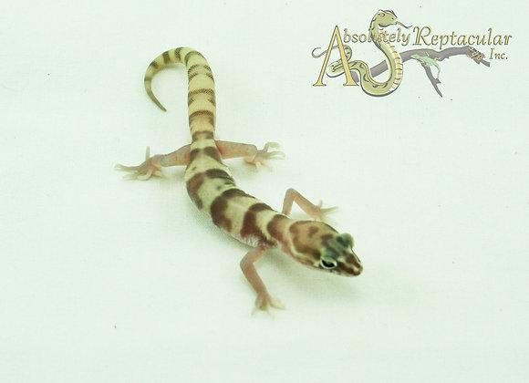 Western Banded Gecko (Coleonyx Variegatus) - WBand20-06m