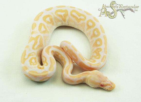 Black Pastel Albino (possible Candino) (BlPasAlb20-02m)