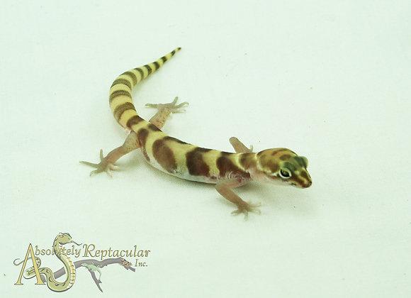 Western Banded Gecko (Coleonyx Variegatus) - WBand20-04m