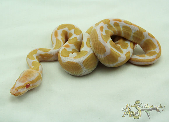 Albino (Alb20-12m)