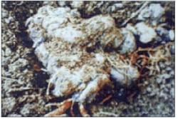 Polyporus-umbellatus