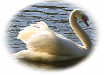 Foto de um Cisne nadando