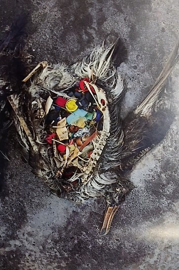 A pile of plastic is all that remains after the walls of the bird's stomach have rotted away. It probably died of starvation, due to a blocked gut.