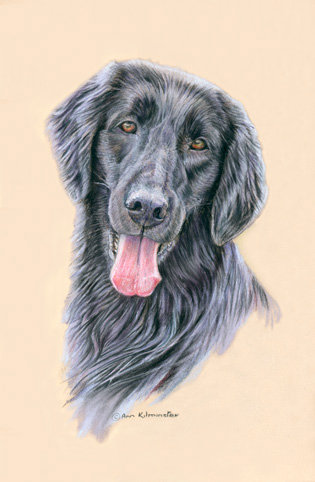 Portrait from a pastel painting of a Flatcoated Retriever