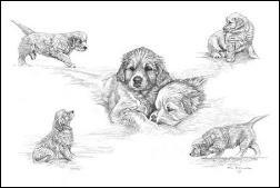 GOLDEN RETRIEVER - Golden Puppies