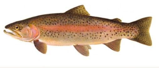 rainbow_trout.jpg