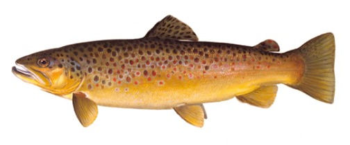 brown_trout.jpg