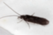 little-black-caddis.JPG