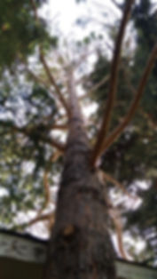 Pine Tree June 12, 2019.jpg