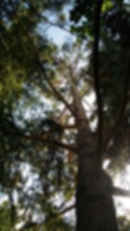 Ponderosa Pine 2 Aug 15.jpg