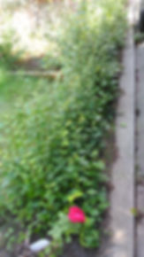 Cotonester Aug 15 2.jpg