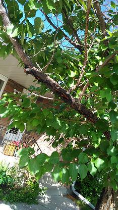 Apricot branch Aug 15.jpg