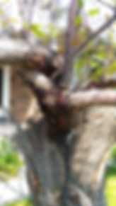 Apricot trunk June 8, 2019.jpg