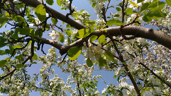 Apple blossoms May 30, 2019.jpg