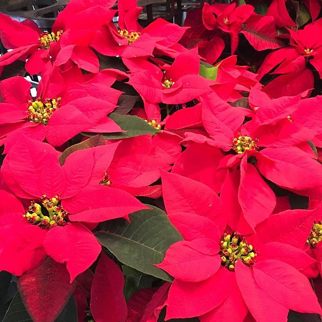 #poinsettia make a great gift! In fact,