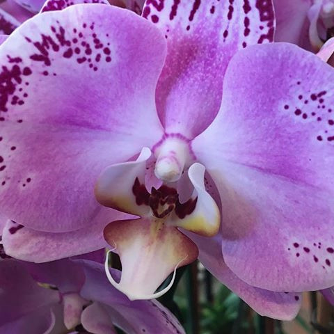 Tuesday_is_purple_orchid_day_at_Jerome's