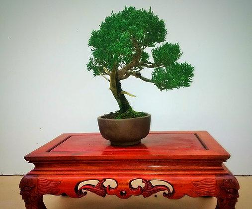 Juniperus 'itoigawa'