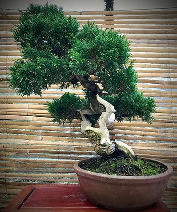 Juniperus itoïgawa